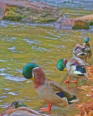 Print featuring the photograph Preening Drakes In A Row by Gregory Scott