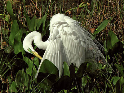Photograph - Preening Egret by Peg Urban