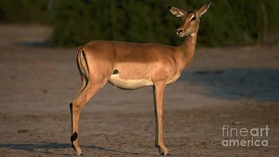 Photograph - Pregnant Impala by Mareko Marciniak