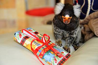 Present Time Chewy The Marmoset Art Print by Barry R Jones Jr