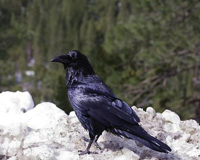 Photograph - Pretty Begging Raven On Dirty Snow by Gregory Scott