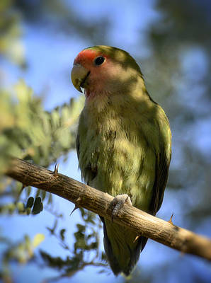 Lovebird Photograph - Pretty Bird by Saija  Lehtonen
