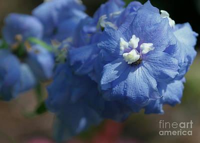 Photograph - Pretty Blue Delphinia by Sabrina L Ryan