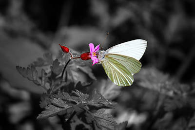 Pretty Margined White Butterfly Art Print