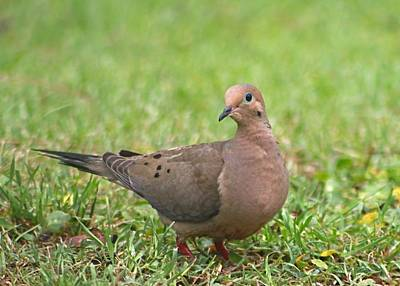 Pretty Mourning Dove Art Print