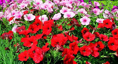 Syndey Photograph - Pretty Petunias by Laurel Talabere