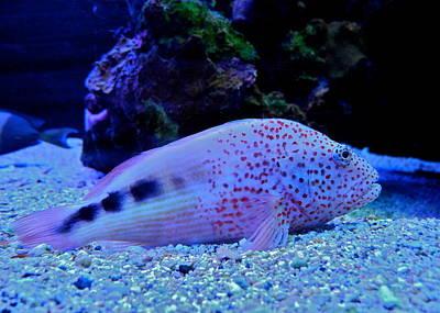 Photograph - Pretty Polka Dot Fish by Kirsten Giving