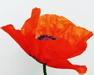 Photograph - Pretty Poppy by Ramona Johnston