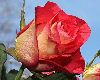 Photograph - Pretty Rose by Sheila Kay McIntyre