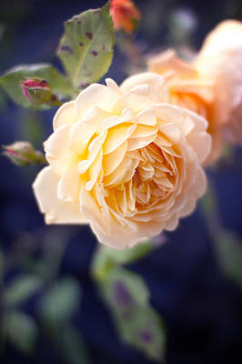 Photograph - Pretty Vintage Yellow Rose by Ethiriel  Photography