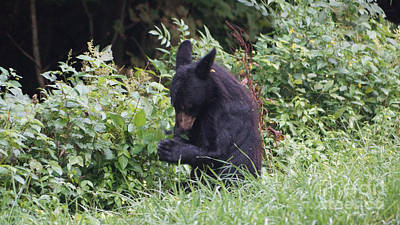 Shenandoah Photograph - Preying For Blackberries by Chuck Smith