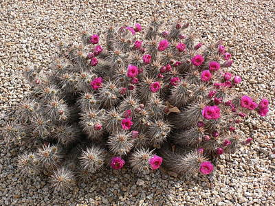 Photograph - Prickly And Pretty by Mary M Collins