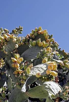 Blue Fig Photograph - Prickly Pear Cacti (opuntia Sp.) by Carlos Dominguez