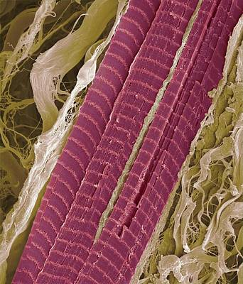 Primate Finger Muscle, Sem Art Print by Steve Gschmeissner