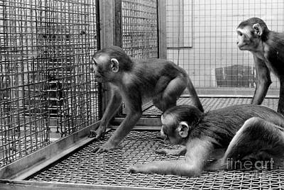 Behavioral Photograph - Primate Research by Science Source