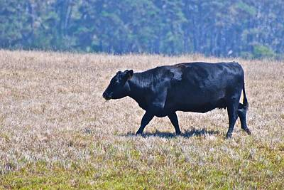 Photograph - Prime Blue Blooded Beef Cow by Eric Tressler