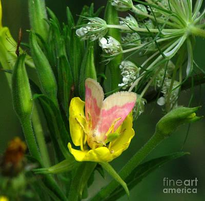 Photograph - Primrose Moth by Deborah Johnson