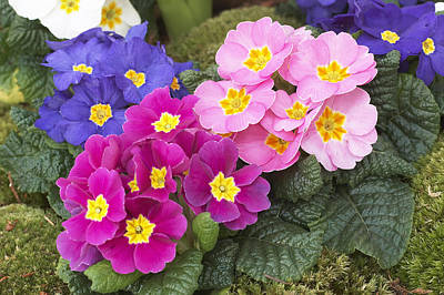 Primroses Photograph - Primrose Primula Sp Flowers by VisionsPictures