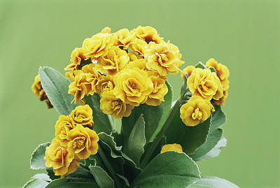 Primula Auricula Photograph - Primula Auricula 'golden Hind' by Archie Young