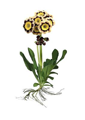 Primula Auricula Photograph - Primula Auricula 'sirius' by Archie Young