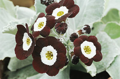 Auricula Photograph - Primula Auricula 'the Snods' by Archie Young