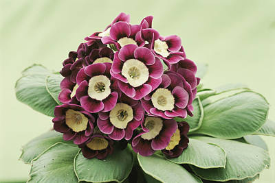 Primula Auricula Photograph - Primula Auricula 'venetian' by Archie Young