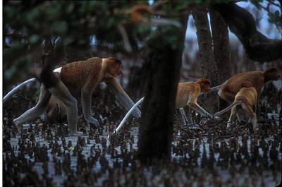 Proboscis Monkeys Travel Over Mangrove Art Print by Tim Laman