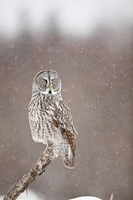 Hunting Owl Photograph - Profile Of A Great Gray Owl by Tim Grams