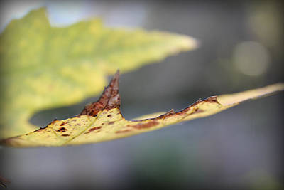 Photograph - Profile Of A Leaf by Kelly Hazel