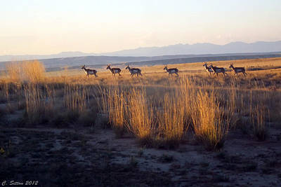 Photograph - Pronghorn All In A Row by C Sitton