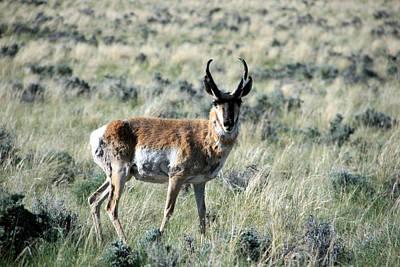 Photograph - Pronghorn Antelope by George Jones
