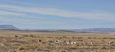 Photograph - Pronghorn Antelope Herd by Gregory Scott
