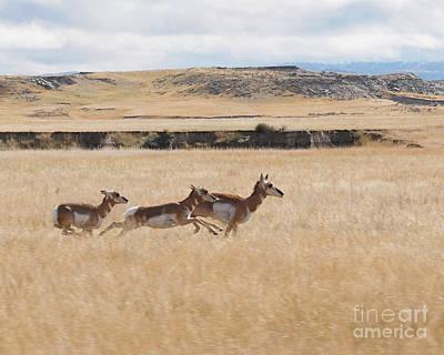 Pronghorn Antelopes On The Run Art Print by Art Whitton