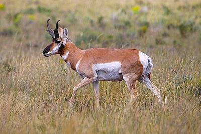 Photograph - Pronghorn Buck by Drusilla Montemayor