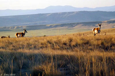 Photograph - Pronghorn Does by C Sitton