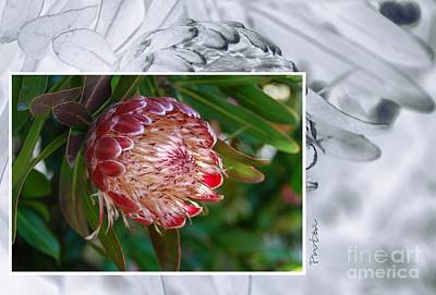 Photograph - Protea 1 by Fran Woods
