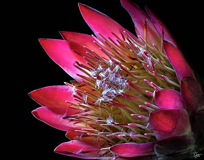 Photograph - Protea by Endre Balogh