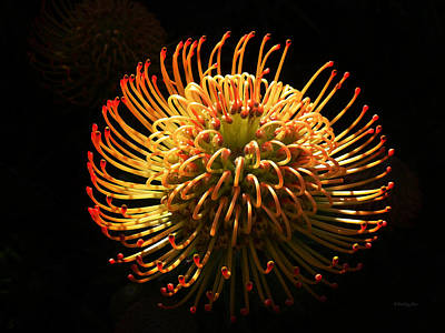 Photograph - Protea Flower 11 by Xueling Zou