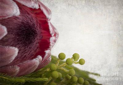 Protea Print by Jane Rix