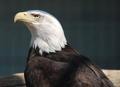 Photograph - Proud Eagle by Richard Bryce and Family