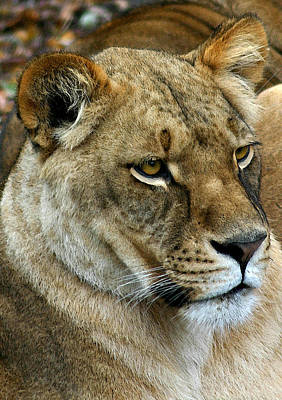 Proud Lioness Art Print by Cindy Haggerty