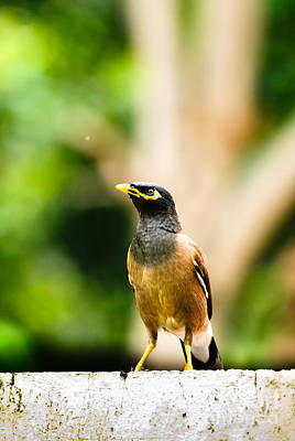 Islamabad Photograph - Proud Myna by Syed Aqueel