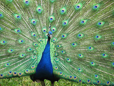 Photograph - Proud Peacock by Bonnie Muir