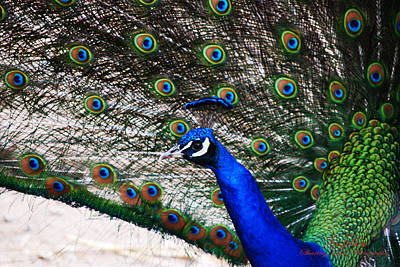 Peacocks Photograph - Proud Peacock by Sheryl Cox