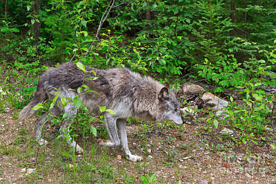 Wolf Photograph - Prowling Wolf by Louise Heusinkveld