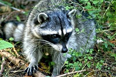 Art Print featuring the photograph Pt. Defiance Raccon by Rob Green