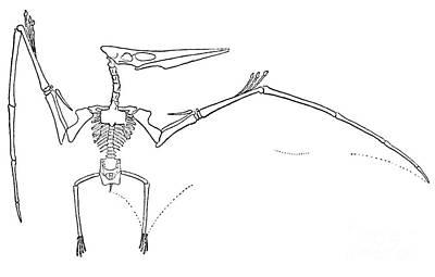 Pteranodon Longiceps Art Print by Science Source