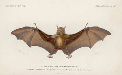 Fox Digital Art - Pteropus Edwardsii by Hulton Archive