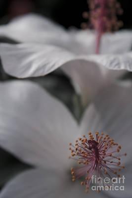 Photograph - Pua Aloalo - Koki'o Ke'oke'o - Hibiscus Arnottianus - Hawaiian White Hibiscus by Sharon Mau