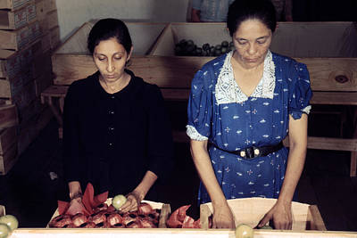 Puerto Rico. Women Sorting And Packing Art Print by Everett